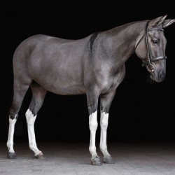 Grulla Mule Portrait