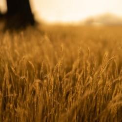 Golden Hour Field