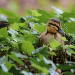 Duck In Plants