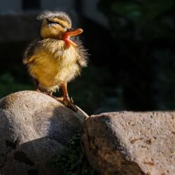 Quacking Duckling
