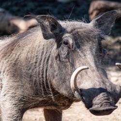 Warthog Close Up