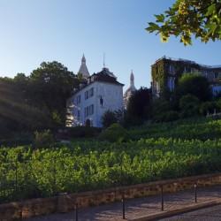 Vineyard of the butte Montmartre