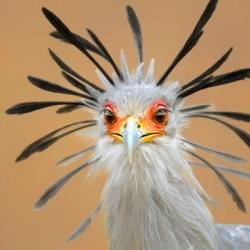 Secretary bird portrait close-up head shot