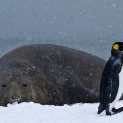 King Penguin walking nest to Elephant Seal