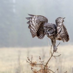 3031 - Great Grey Owl on Attack