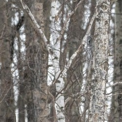 Spot the Great Grey Owl