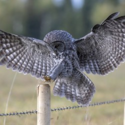 Great Grey Owl - Perfect Landing