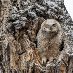 Great Horned Owlet - Can I come out yet