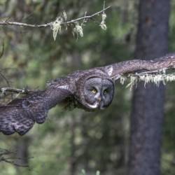 Great Grey Owl - Wing Span