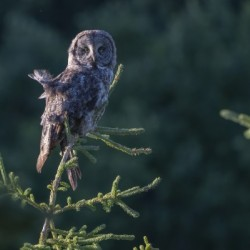 Great Grey Owl - Tree Top Hunting