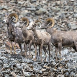 Big Horn Sheep - Family Portrait