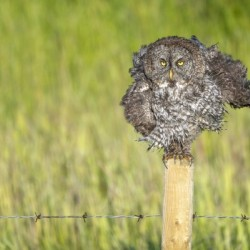 Great Grey Owl - Shaking It Out