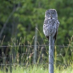 Great Grey Owl - Henry