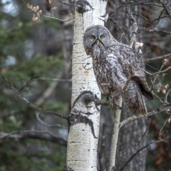 Great Grey Owl - Its Just a Snack