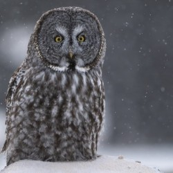 Great Grey Owl - Hunting at Sunset Alberta Canada