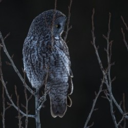 Great Grey Owl - After sunset
