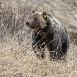 6897 - Grizzly Bear 2160