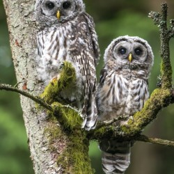 5405 - Barred Owlets -  Vancouver Island  Canada