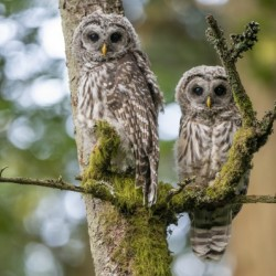 5412 - Barred Owlets