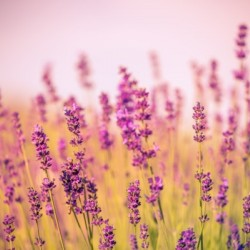 Beautiful Sunset lavender flowers