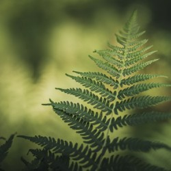 Green as the fern
