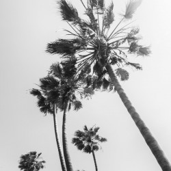 Palm Trees in the sun | monochrome