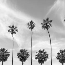 Palm Trees in La Jolla California | monochrome