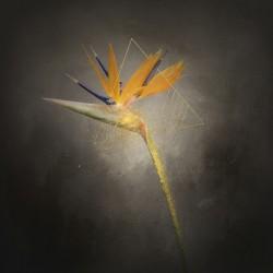 Graceful flower - Strelitzia | vintage style gold splashes