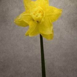 Spring bloomer - Daffodil | vintage style