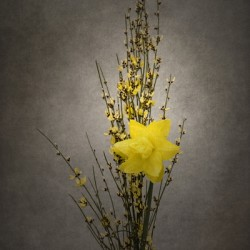Spring bloomer - Genista and daffodil | vintage style