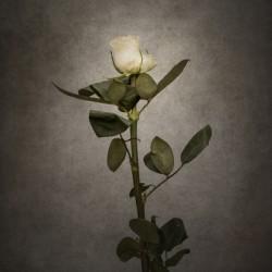 Graceful white Rose | vintage