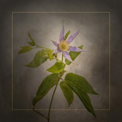 Graceful flower - Clematis | vintage style gold