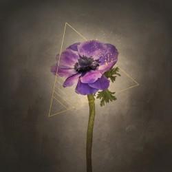 Graceful flower - Anemone coronaria | vintage style gold