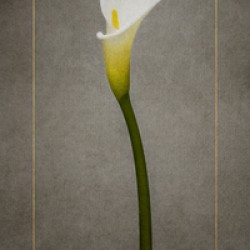Graceful flower - Calla No. 1 | vintage style gold