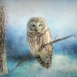 Barred Owl Solitude