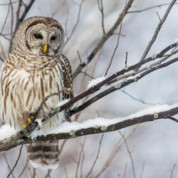 Barred Owl on a Snowy Branch