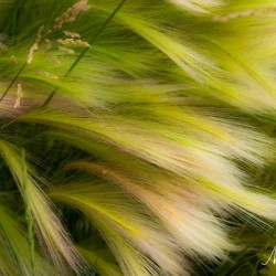 Grasses Of Summer