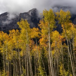 Aspens In Fall Banff National Park