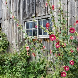 Roses tremieres embellies par une vieille grange - Hollyhocks embellished by an old barn