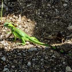 Cayman Young Green Iguana