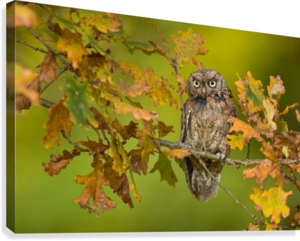 Eurasian scops owl  Canvas Print
