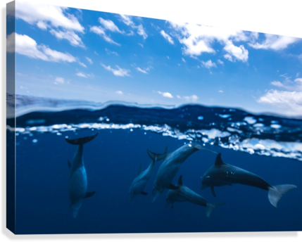 Between air and water with the dolphins  Canvas Print