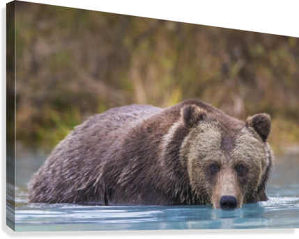 CLOSE UP OF A COASTAL BROWN BEAR (URSUS ARCTOS) WADING IN WATER, SOUTHCENTRAL ALASKA, AUTUMN PACIFICSTOCK  Canvas Print