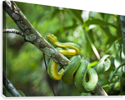 Green tree snake (Dendrelaphis punctulata); Madang Province, Papua New Guinea  Canvas Print