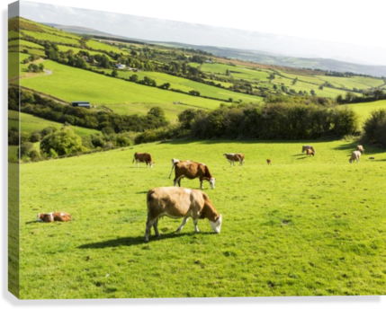Cattle grazing on lush green hilly pastures with trees separating fields; County Kerry, Ireland  Canvas Print