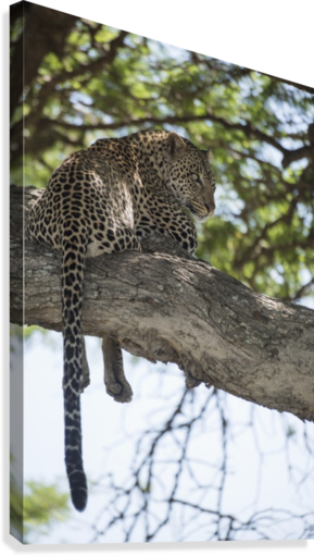 Leopard resting in tree near Ndutu, Ngorongoro Crater Conservation Area; Tanzania  Canvas Print