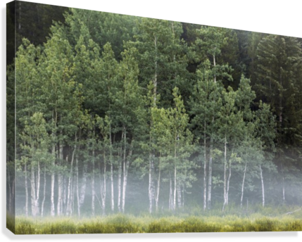 Fog covering a row of aspen trees in the early morning; Kananaskis Country, Alberta, Canada  Canvas Print