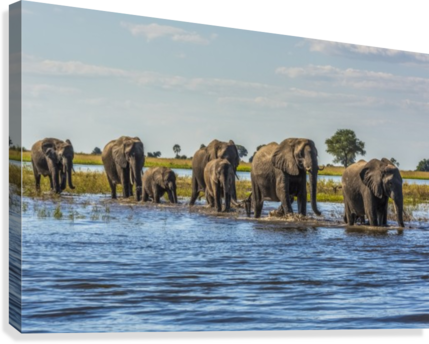 Line of elephants (Loxodonta africana) crossing river in sunshine; Botswana  Canvas Print