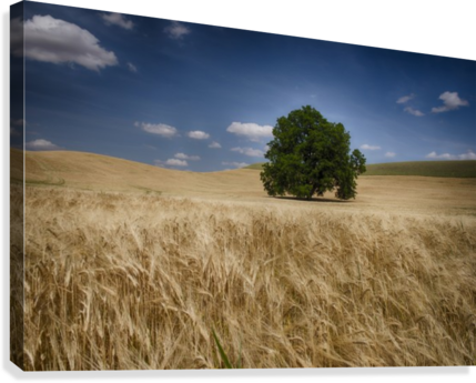 Lone tree in a wheat field; Palouse, Washington, United States of America  Canvas Print