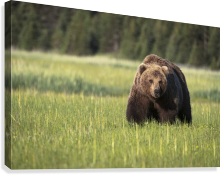 Brown bear (ursus arctos) in Lake Clark National Park; Alaska, United States of America  Canvas Print